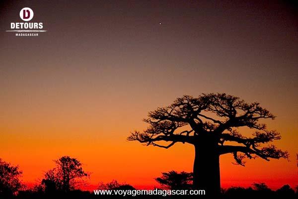 Les Baobabs de Madagascar: arbres emblématiques et mythiques