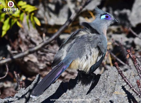 Les oiseaux de Madagascar: dignes représentants de la beauté de la nature malgache